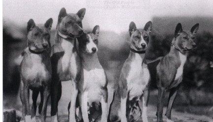 Первые басенджи и их потомки